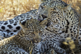 A Female Leopard Grooms Her Cub in South Africa's Sabi Sand Game Reserve Photographic Print by Steve Winter
