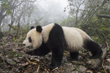 A Giant Panda Explores Her Enclosure at a Research Center Photographic Print by Ami Vitale