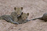 A Pair of Leopard Cubs in South Africa's Timbavati Game Reserve Photographic Print by Steve Winter