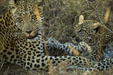 A Female Leopard Rests with Her Cub in Sabi Sand Game Reserve Photographic Print by Steve Winter
