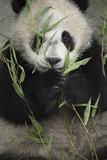 A Giant Panda in an Enclosure at the Wolong China Conservation and Research Center Photographic Print by Ami Vitale