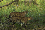 A Male and Female Leopard in Yala National Park Photographic Print by Steve Winter