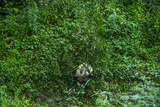 A Giant Panda Spends Much of the Day Surrounded by and Munching on Bamboo Photographic Print by Ami Vitale