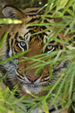 A Bengal Tiger Hidden by Bamboo Leaves Photographic Print by Steve Winter