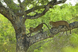A Female Leopard and Her Cub Rest on a Tree Branch in Yala National Park Photographic Print by Steve Winter