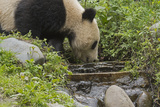 A Giant Panda Drinks from a Stream Inside an Enclosure at a Research Center Photographic Print by Ami Vitale
