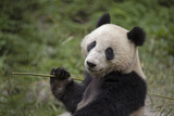 A Giant Panda Eats Bamboo Inside an Enclosure at a Research Center Photographic Print by Ami Vitale