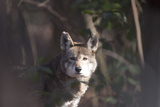 Portrait of Red Wolf, Canis Rufus Photographic Print by Robbie George