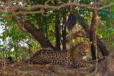 A Wild Jaguar Resting on a Bank of the Cuiaba River Photographic Print by Steve Winter