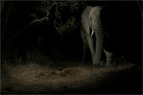 A Remote Camera Captures an African Elephant in Sabi Sand Game Reserve Photographic Print by Steve Winter