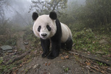 A Giant Panda Inside its Enclosure at a Research Center Photographic Print by Ami Vitale