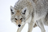 A Coyote, Canis Latrans, Takes on a Weary Stance Photographic Print by Robbie George