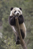 A Giant Climbs on a Tree Branch Inside an Enclosure at a Research Center Photographic Print by Ami Vitale