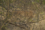 A Leopard Walking in Yala National Park Photographic Print by Steve Winter