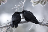 A Pair of Ravens, Corvus Corax, Share an Intimate Gesture on a Frozen Branch Photographic Print by Robbie George