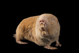 A Giant Mole Rat, Cryptomys Mechowi, at the Houston Zoo Photographic Print by Joel Sartore