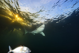 A Great White Shark Swims in Waters Off the Neptune Islands Photographic Print by Brian Skerry