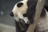 A Giant Rests on a Tree Branch Inside an Enclosure at a Research Center Photographic Print by Ami Vitale
