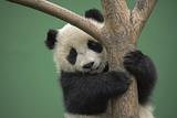 A Captive Born Giant Panda Cub Climbs a Tree at a Reserch Center Photographic Print by Ami Vitale