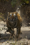 A Charging Tiger in India's Bandhavgarh National Park Photographic Print by Steve Winter