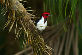 A Red Capped Cardinal in Yasuni National Park Photographic Print by Steve Winter