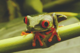 Close View of a Red-Eyed Tree Frog Photographic Print by Steve Winter