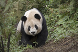A Giant Panda Roams Her Enclosure at a Research Center Photographic Print by Ami Vitale