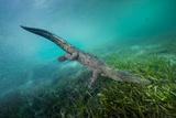 A Submerged American Crocodile, Crocodiles Acutus, Swims Above a Bed of Turtle Grass Fotografie-Druck von David Doubilet