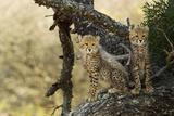 Two Cheetah Cubs, Acinonyx Jubatus, Perch on a Tree Photographic Print by Steve Winter