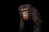 An Endangered Chimpanzee, Pan Troglodytes, at Rolling Hills Zoo Photographic Print by Joel Sartore