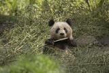 A Captive Born Giant Panda Eats Bamboo at a Reserch Center Photographic Print by Ami Vitale