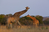 Two Giraffes Walk in Tall Grass at the Phinda Game Reserve Photographic Print by Steve Winter