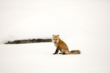 A Red Fox, Vulpes Vulpes, Sits on Snow Near a Stony Bare Patch Photographic Print by Robbie George