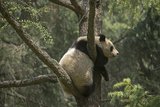 A Captive Born Giant Panda Rests in a Tree at a Reserch Center Photographic Print by Ami Vitale