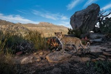 A Remote Camera Captures a Cape Leopard Cub in South Africa's Cederberg Wilderness Photographic Print by Steve Winter