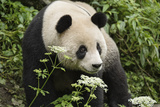 A Giant Panda Explores Her Enclosure at the Wolong China Conservation and Research Center Photographic Print by Ami Vitale