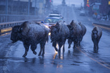Bison Migrating Out of Yellowstone National Park Cross a Highway Bridge into Gardiner Photographic Print by Michael Nichols