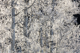 Ice Crystals Coat the Branches of White Birch Trees Photographic Print by Robbie George
