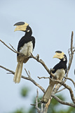 A Pair of Hornbills Perch in a Tree in Yala National Park Photographic Print by Steve Winter