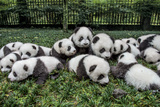 Eighteen Giant Baby Panda Cubs are Brought Outside for a Portrait Photographic Print by Ami Vitale