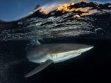 A Silky Shark Patrols the Rich Coral Reefs of Gardens of the Queen Fotografie-Druck von David Doubilet