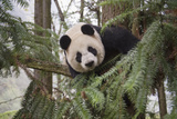 A Giant Panda Climbs a Tree in Her Enclosure at a Research Center Photographic Print by Ami Vitale
