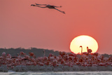 A Caribbean Flamingo, Phoenicopterus Ruber, in Flight at Sunset Photographic Print by Steve Winter