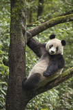 A Giant Panda Climbs a Tree at the Wolong China Conservation and Research Center Photographic Print by Ami Vitale