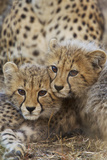 A Pair of Cheetah Cubs, Acinonyx Jubatus, in Phinda Game Reserve, South Africa Photographic Print by Steve Winter