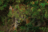 A Male Tiger in Bandhavgarh National Park Photographic Print by Steve Winter