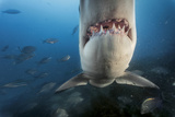A Great White Shark Investigates a Caged Diver in Waters Off the Neptune Islands Photographic Print by Brian Skerry