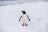 A Lone Penguin Stands in the Snow Photographic Print by Stephen Alvarez
