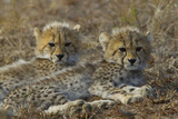Two Cheetah Cubs Relax Together in Tall Grass Photographic Print by Steve Winter