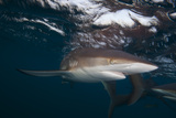 A Silky Shark Patrols the Rich Coral Reefs of Gardens of the Queen Photographic Print by Jennifer Hayes